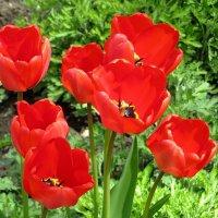 Красные тюльпаны :: Татьяна Смоляниченко