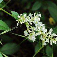 Так цветет живая изгородь :: Светлана