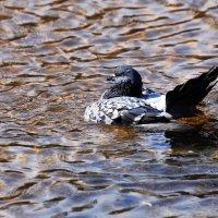 водоплавающий) :: linnud
