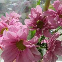 Розовая нежность хризантем. :: Valentina