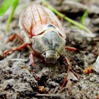 последний майский жук этого года ( уже отошли...) :: Александр Прокудин