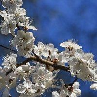 Яблони в цвету. :: юрий Амосов