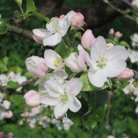 Яблони в цвету! :: Ирина Олехнович