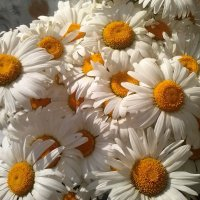 ромашки как солнце в облаках :: Юлия Сергеевна Сафонова