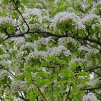 Груша старая цветет. :: Валентина ツ ღ✿ღ