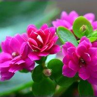 Цветение каланхоэ :: Татьяна Соловьева