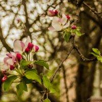 Слива цветущая :: Валерий Смирнов