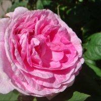 Чайная роза :: Нина Корешкова