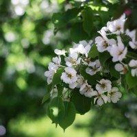 Яблоня в цвету... :: Дина Нестерова