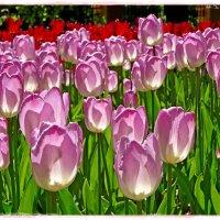 тюльпановый рай :: Natalia Mihailova