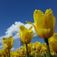 Тюльпаны :: Julia C.