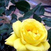Просто желтая роза! :: Герович Лилия