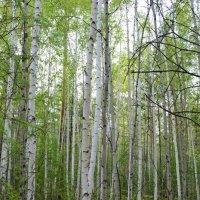 Я в весеннем лесу пил берёзовый сок... :: Ольга
