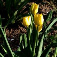 желтые тюльпаны :: Olga Salnikova