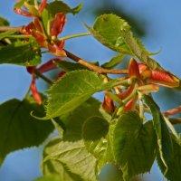 Ажур липовой листвы... :: Арина