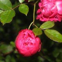 Роза :: Софья Богаткина