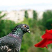 Pigeon :: Олег Шендерюк