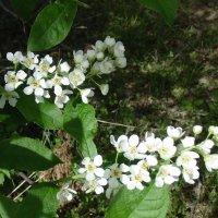Черёмуха цветёт. :: Мила Бовкун