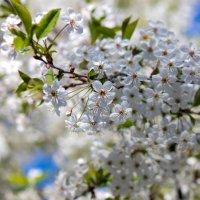 Цветение вишни :: Денис Матвеев