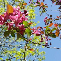 Пурпурная яблоня :: Вера Моисеева