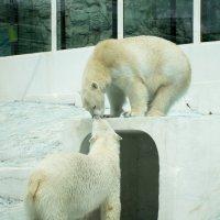 Медвежий поцелуй :: Елена Нор