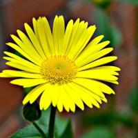 желтые цветы... :: Михаил Столяров