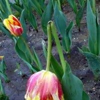 Два тюльпана :: Асылбек Айманов
