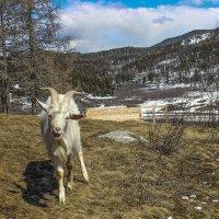 Идет коза... :: Елена ))
