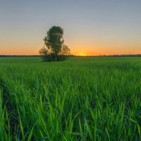 закат у одинокого дерева :: Николай Колобов