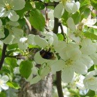 роеться шмель в цвету яблоневом :: игорь