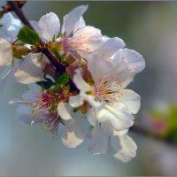Весны цветенье :: Olenka