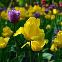 Тюльпаны. :: Стас