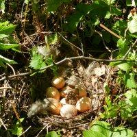 Гнездо тетёрки :: Ольга