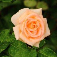 21 мая - всемирный день роз. С праздником! :: Светлана