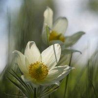 Сон-трава :: Анатолий Piligrim54 Крюков