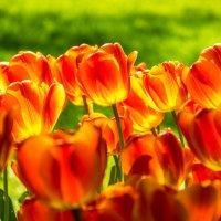 Огненные тюльпаны :: Сергей В. Комаров