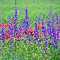 Полевые цветы :: Ольга Голубева