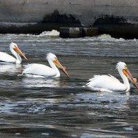 Пеликаны в городе. :: Алена Торопов