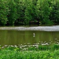 чайка у воды... :: Валентина. .