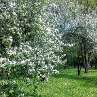 Яблони в цвету... :: Юрий Тихонов