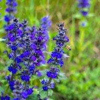 IMG_2192 пчела :: Олег Петрушин