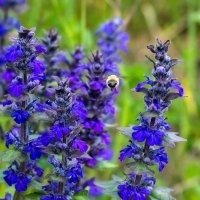 IMG_2194 пчела :: Олег Петрушин
