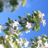 Яблони в цвету :: Надежда Ёздемир