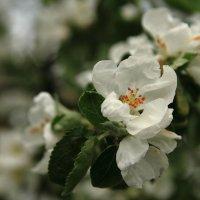 яблоня цветет... :: Игорь