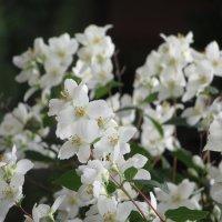Цветы жасмина в окружении цветов жасмина. :: Вячеслав Медведев