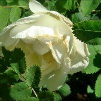 Белая розочка из нашего двора :: Нина Корешкова