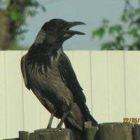 черный ворон :: Polina Pavliuk