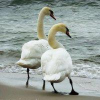 Лебеди на пляже. Приготовились... :: Маргарита Батырева