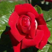 Королева цветов :: Swetlana V