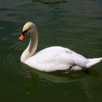 Лебедь на пруду. :: ВАСИЛИЙ ГРИГОРЬЕВИЧ К.